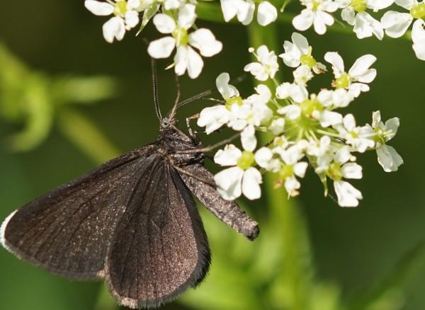 Wandbild Schwarzer Schmetterling (Motiv HF12)