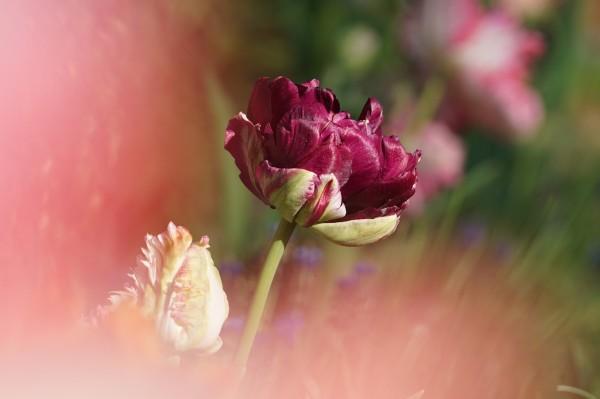 Wandbild Tulpen in dunkelrot und rosa (Motiv HF27)