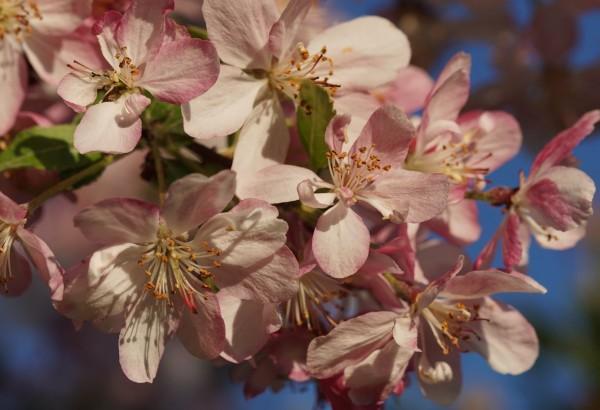 Wandbild Apfelblüten mit blauem Himmel (Motiv HF04)