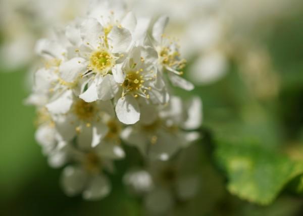 Wandbild Kastanienblüte im Frühling (Motiv HF01)